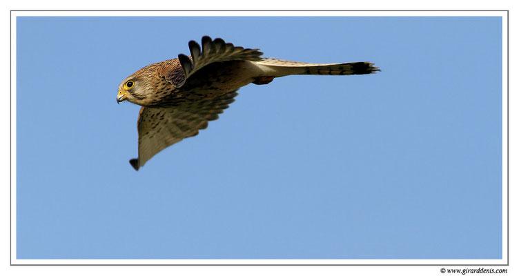 Photo 13 (Faucon crécerelle - Falco tinnunculus - Common Kestrel)