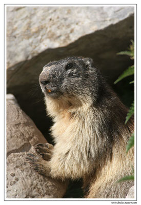 Photo Marmotte_M8