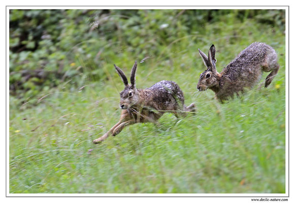 Lièvres - Lepus europaeus - Brown Hare (5)