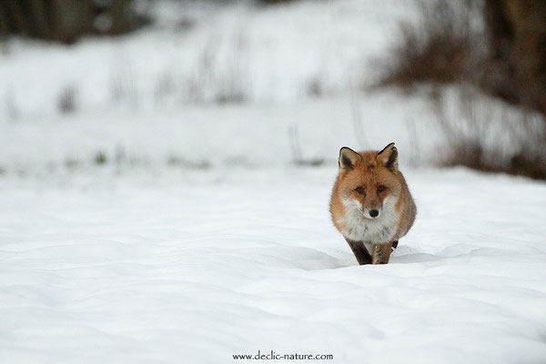 Photo Renard_181 (Renard roux -Vulpes vulpes - Red Fox)