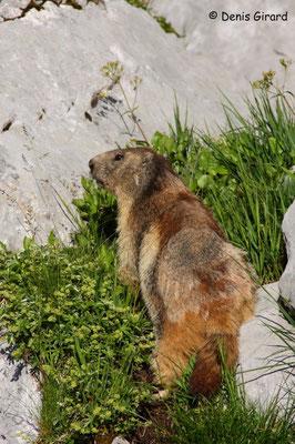 Photo Marmotte_2