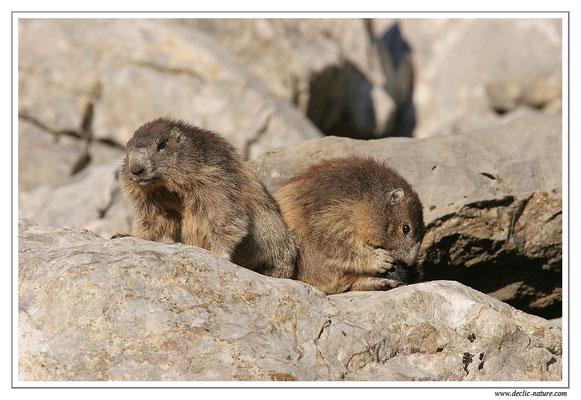 Photo Marmotte_M22