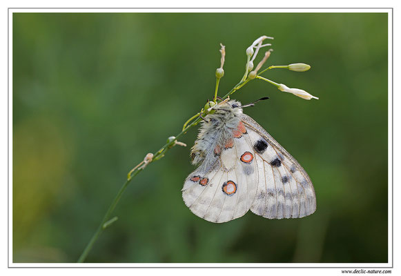 Apollon - Parnassius apollo (4)