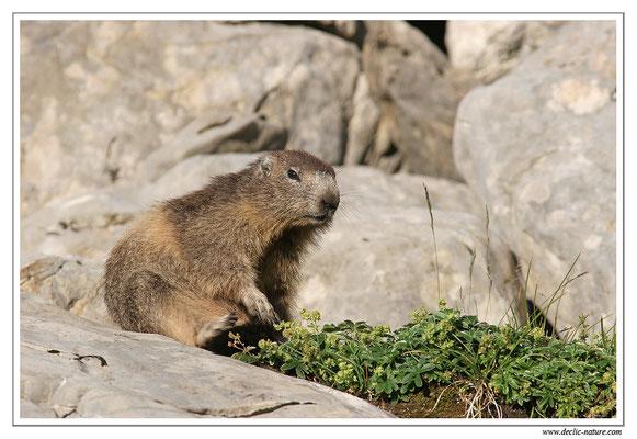 Photo Marmotte_M29