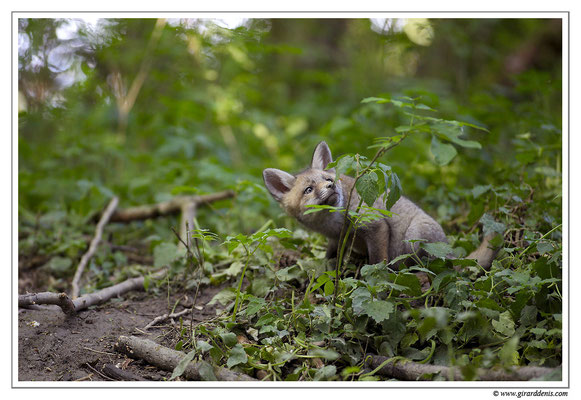 Photo Renard_26 (Renard roux -Vulpes vulpes - Red Fox)