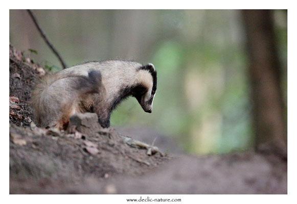 Photo_Blaireau_49 (Blaireaux - Meles meles - Eurasian Badger)