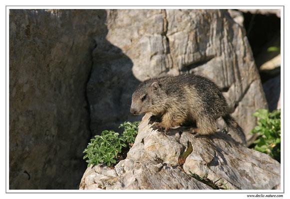 Photo Marmotte_M32