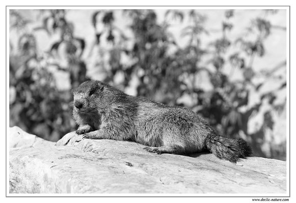 Photo Marmotte_M2