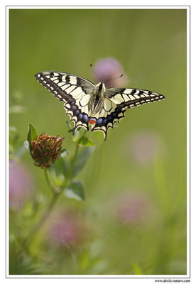 Machaon - Papilio machaon (3)