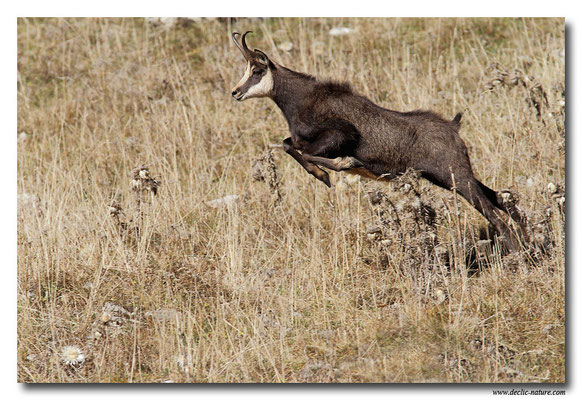 Photo Chamois_3 (Chamois - Rupicapra rupicapra )