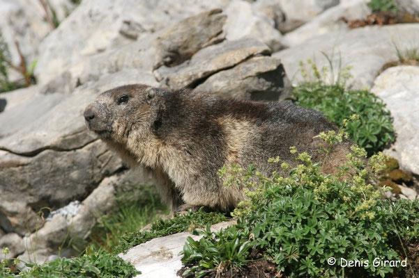 Photo Marmotte_3