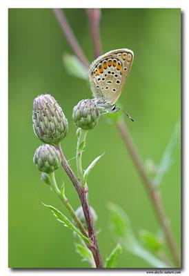 Azuré espèce - Plebejus sp. (1)