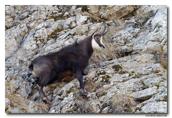Photo Chamois_11 (Chamois - Rupicapra rupicapra )