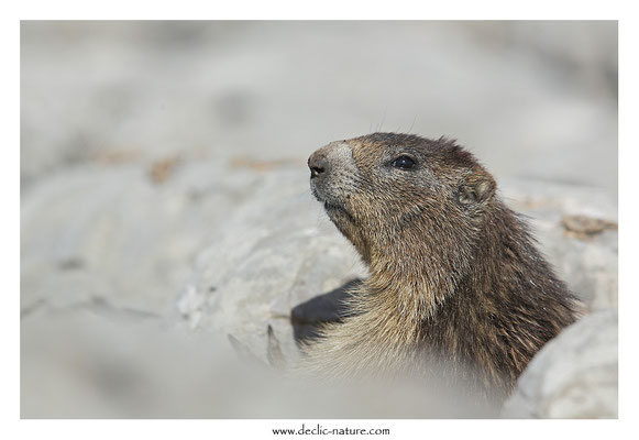 Photo Marmotte_37