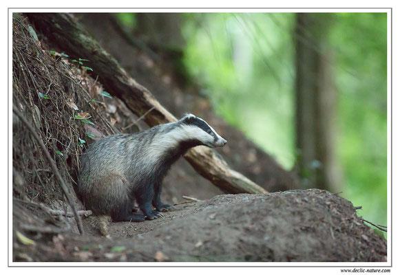 Photo_Blaireau_10 (Blaireaux - Meles meles - Eurasian Badger)
