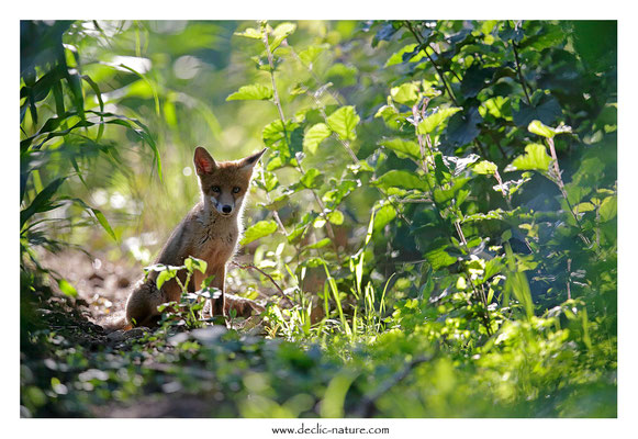 Photo Renard_159 (Renard roux -Vulpes vulpes - Red Fox)