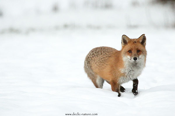 Photo Renard_182 (Renard roux -Vulpes vulpes - Red Fox)