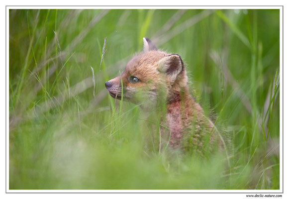 Photo Renard_84 (Renard roux -Vulpes vulpes - Red Fox)