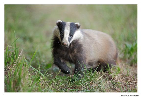 Photo_Blaireau_37 (Blaireaux - Meles meles - Eurasian Badger)