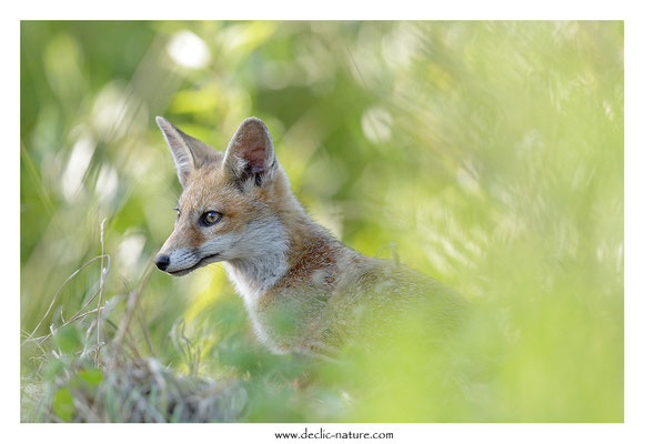 Photo Renard_144 (Renard roux -Vulpes vulpes - Red Fox)