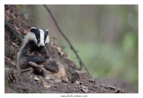 Photo_Blaireau_47 (Blaireaux - Meles meles - Eurasian Badger)