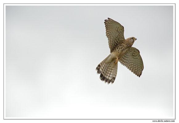 Photo 32 (Faucon crécerelle - Falco tinnunculus - Common Kestrel)