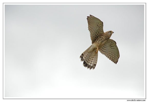Photo 32 (Faucon crécerelle - Falco tinnunculus - Common Kestrel)
