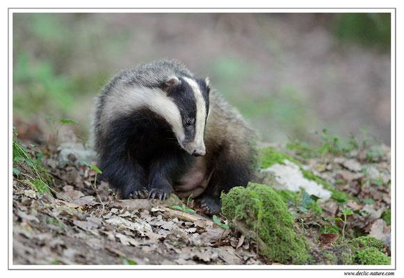 Photo_Blaireau_22 (Blaireaux - Meles meles - Eurasian Badger)