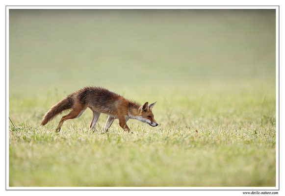 Photo Renard_77 (Renard roux -Vulpes vulpes - Red Fox)
