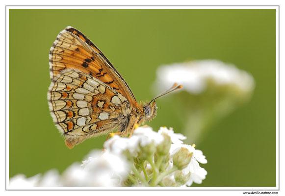 Mélitée des mélampyres - Mellicta athalia (18)