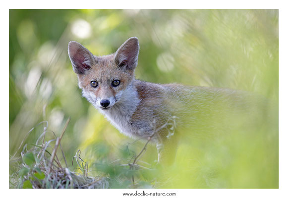 Photo Renard_145 (Renard roux -Vulpes vulpes - Red Fox)