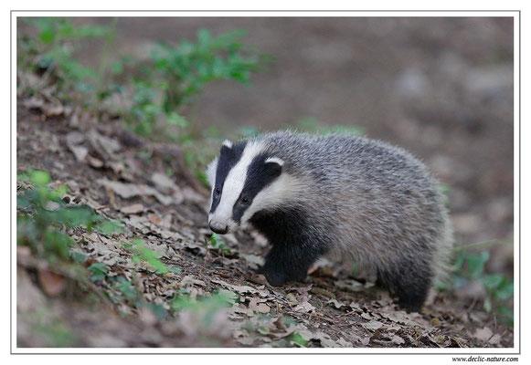Photo_Blaireau_21 (Blaireaux - Meles meles - Eurasian Badger)