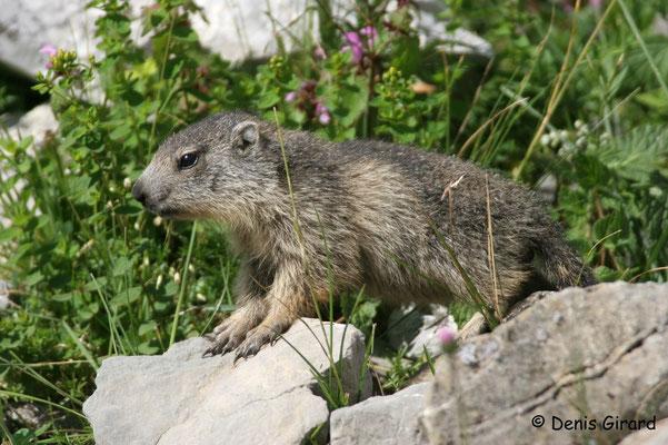 Photo Marmotte_6