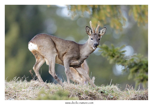Photo Chevreuil_135 (Chevreuil - Capreolus capreolus - Roe Deer)