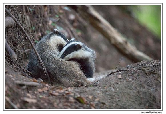 Photo_Blaireau_14 (Blaireaux - Meles meles - Eurasian Badger)