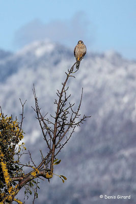 Photo 1 (Faucon crécerelle - Falco tinnunculus - Common Kestrel)
