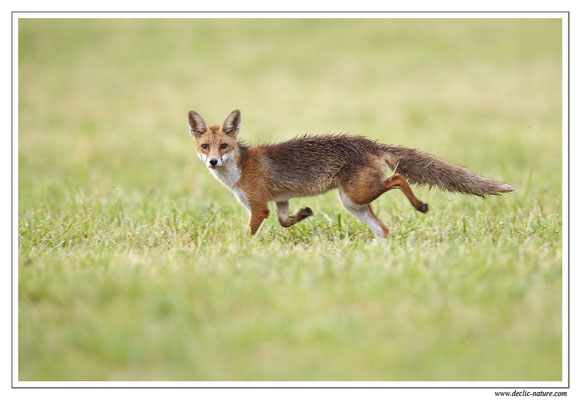 Photo Renard_76 (Renard roux -Vulpes vulpes - Red Fox)