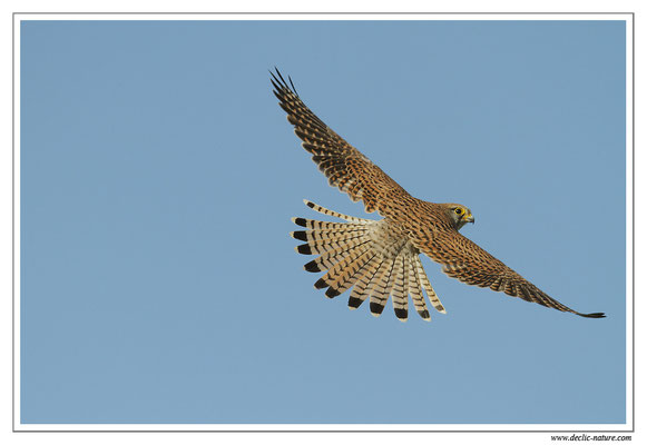 Photo 42 (Faucon crécerelle - Falco tinnunculus - Common Kestrel)