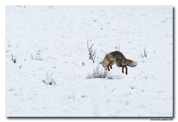 Photo Renard_43 (Renard roux -Vulpes vulpes - Red Fox)