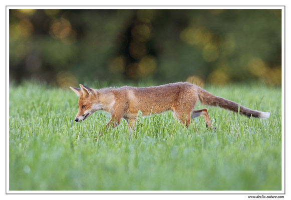 Photo Renard_64 (Renard roux -Vulpes vulpes - Red Fox)