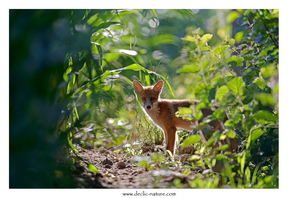Photo Renard_158 (Renard roux -Vulpes vulpes - Red Fox)