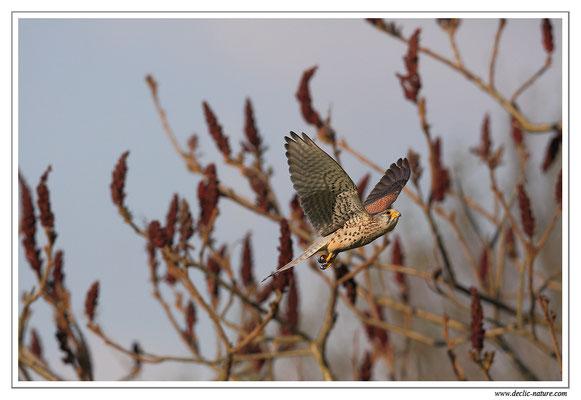 Photo 39 (Faucon crécerelle - Falco tinnunculus - Common Kestrel)