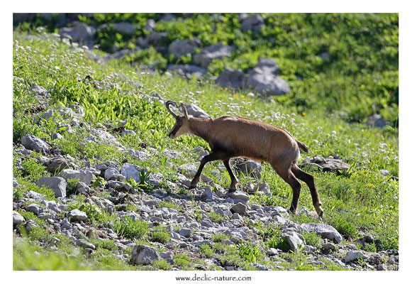Photo Chamois_37 (Chamois - Rupicapra rupicapra )