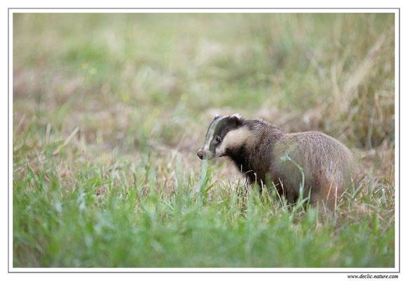 Photo_Blaireau_35 (Blaireaux - Meles meles - Eurasian Badger)
