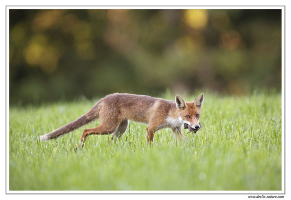 Photo Renard_59 (Renard roux -Vulpes vulpes - Red Fox)