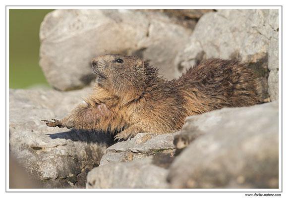 Photo Marmotte_31