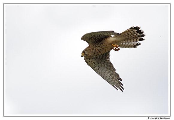Photo 16 (Faucon crécerelle - Falco tinnunculus - Common Kestrel)