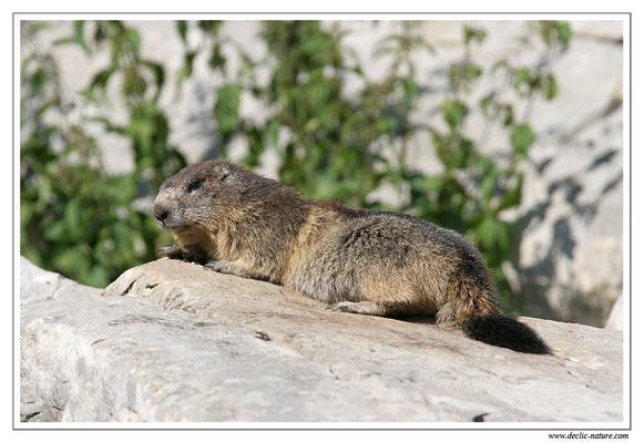 Photo Marmotte_M17