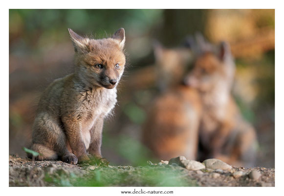 Photo Renard_115 (Renard roux -Vulpes vulpes - Red Fox)