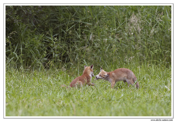 Photo Renard_58 (Renard roux -Vulpes vulpes - Red Fox)